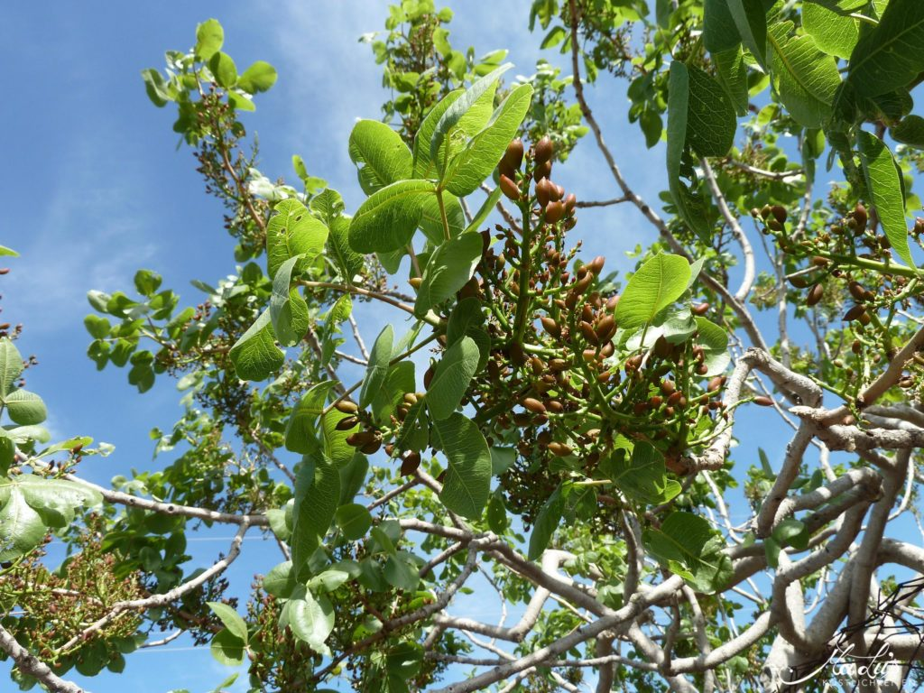 Pistazienbaum in Bronte