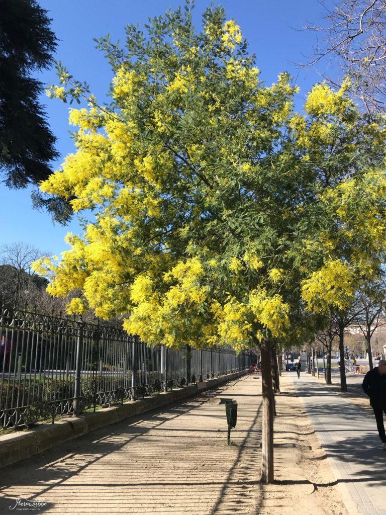 Madrid 2020 - Silber-Akazie (Acacia dealbata)
